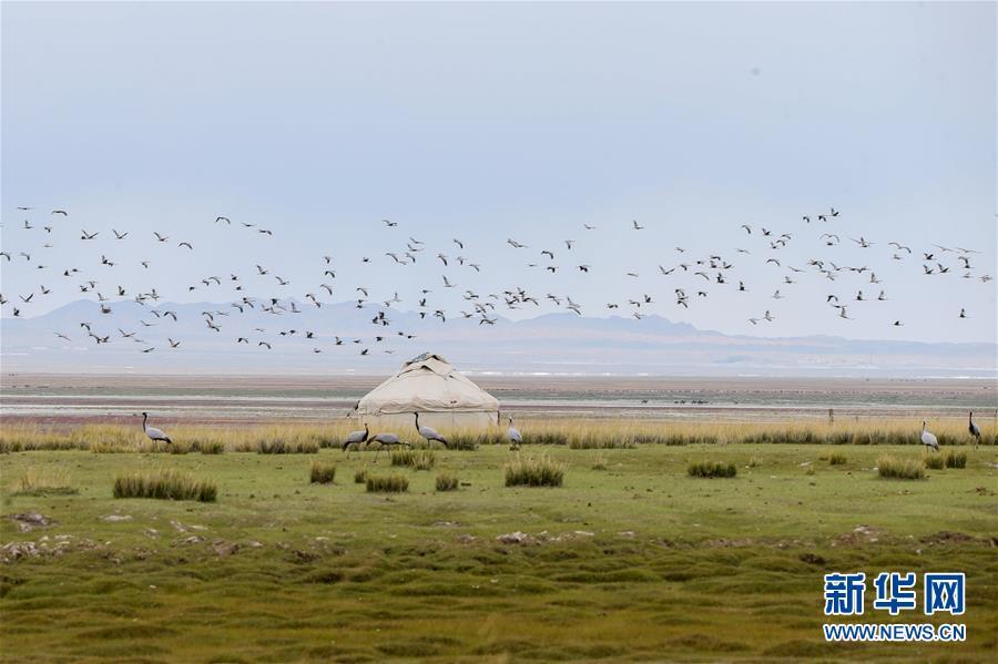 9月11日在新疆哈密巴里坤哈薩克自治縣草原上拍攝的蓑羽鶴。 新華社發(達吾提·熱夏提 攝)