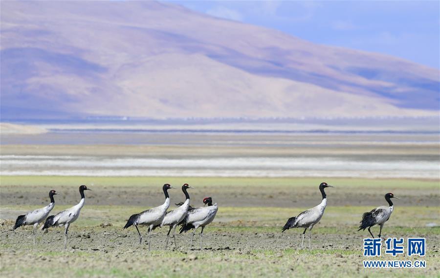 (环境)(1)多庆湖畔黑颈鹤