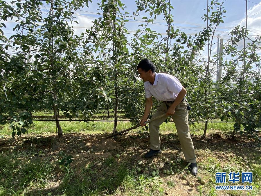(决战决胜脱贫攻坚·图文互动)(1)高原红了,日子好了——贵州海拔最高县发展苹果产业见闻